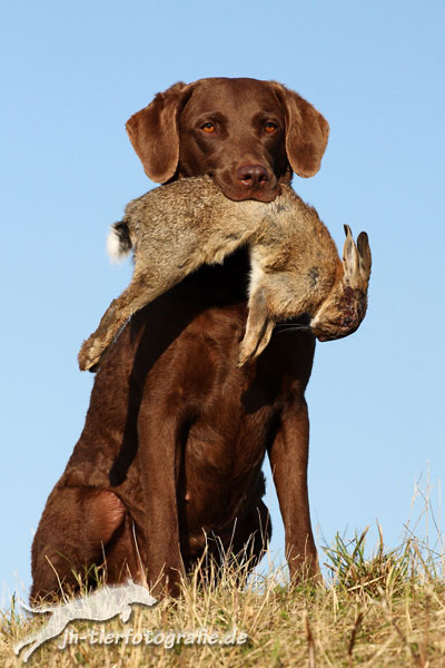 Sea'nLand Chesapeake Bay Retriever