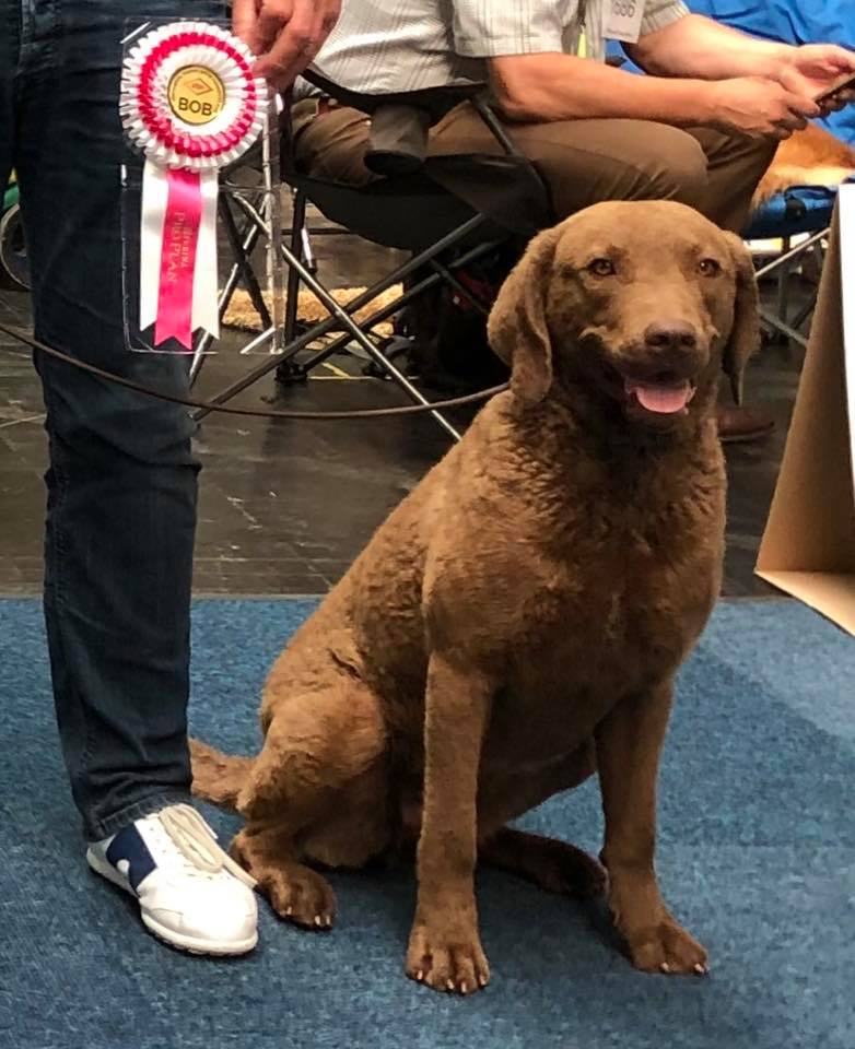 Sea'nLand_Chesapeake_Bay_Retriever